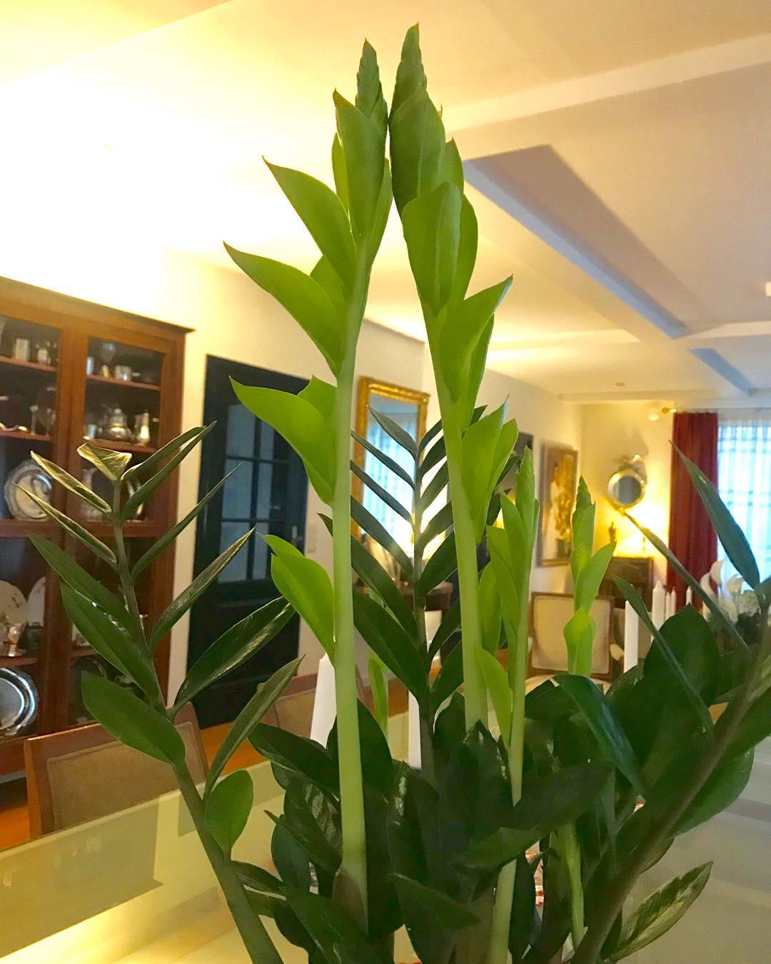 . minha planta favorita me deu dois filhos ... mas a coisa mais linda é a ma ...
