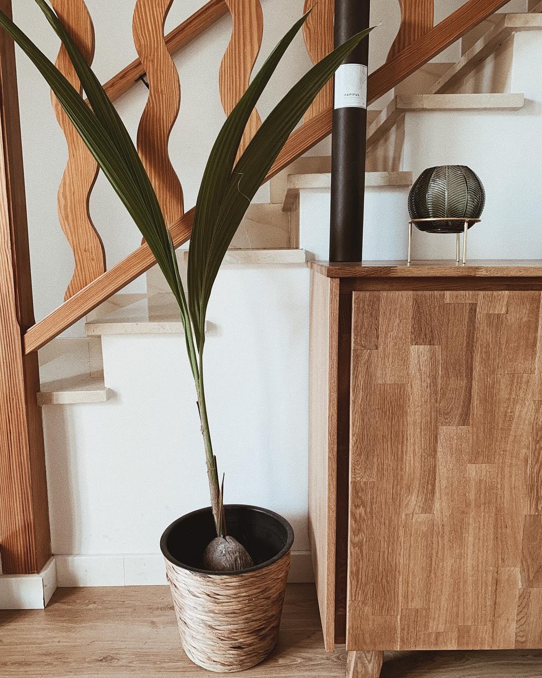Planta de coco. . . . . . . all deco marcado na foto #homedeco #interiorde ...